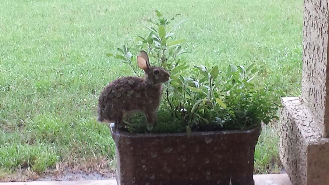 Bunny in herb pot on back porch