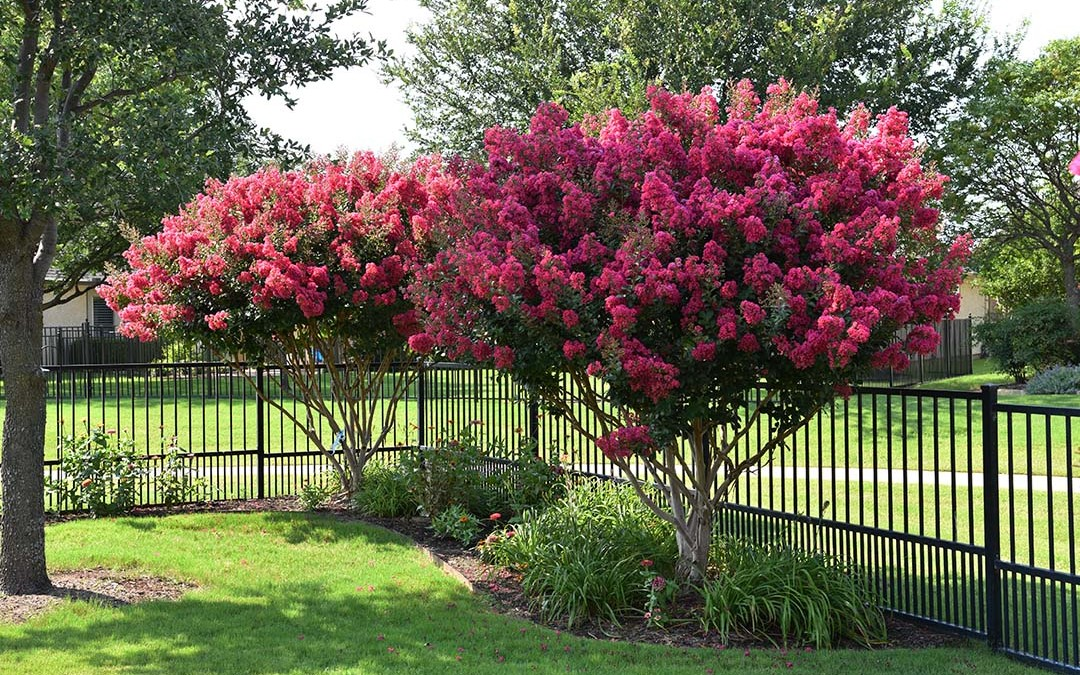 My Crape Myrtles are in Bloom