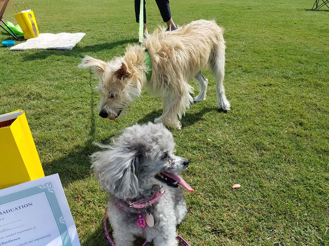 Izzie and Boo at obedience school
