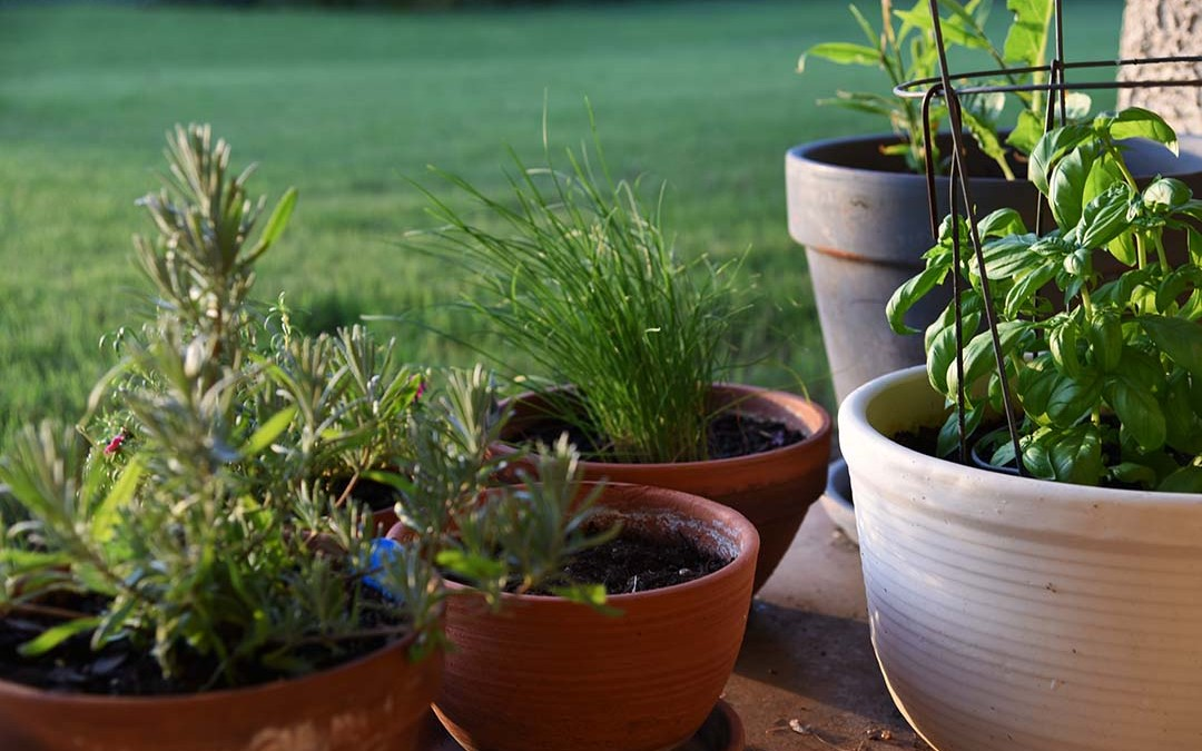 Potted Herbs on My Backporch