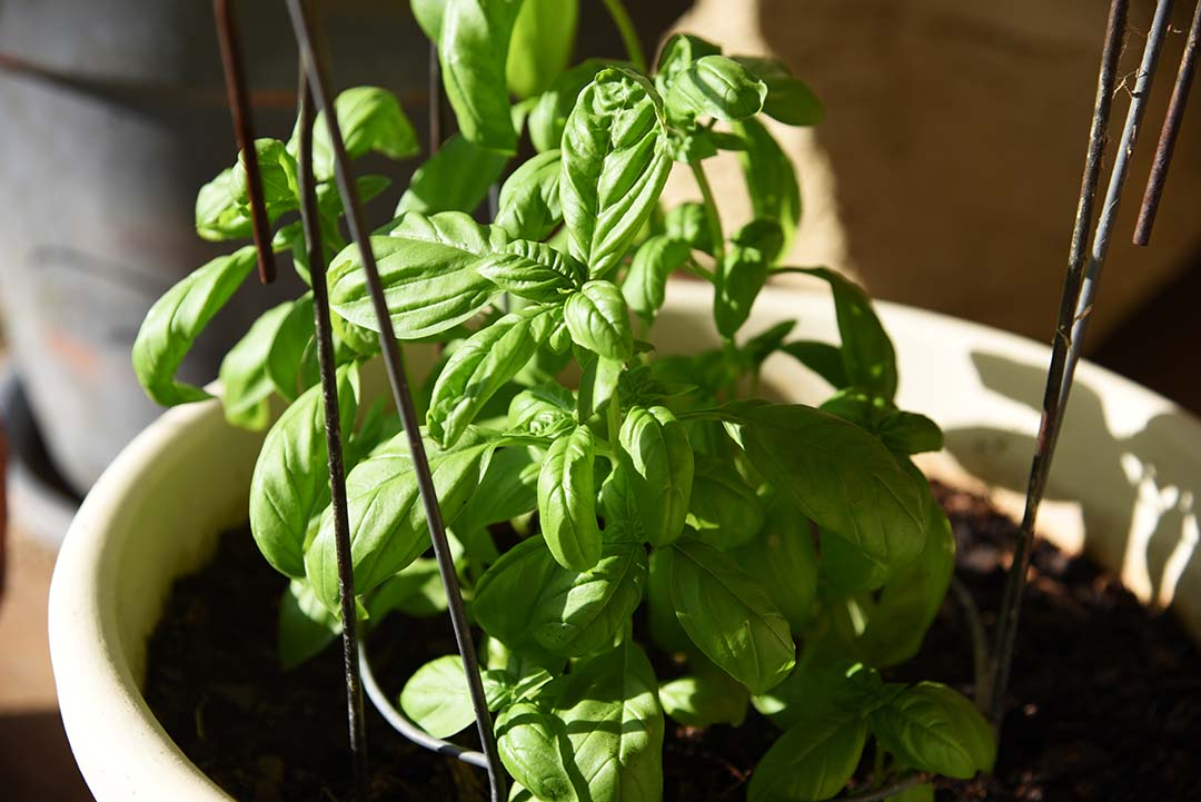 Potted Herbs on My Backporch - Emily Basil