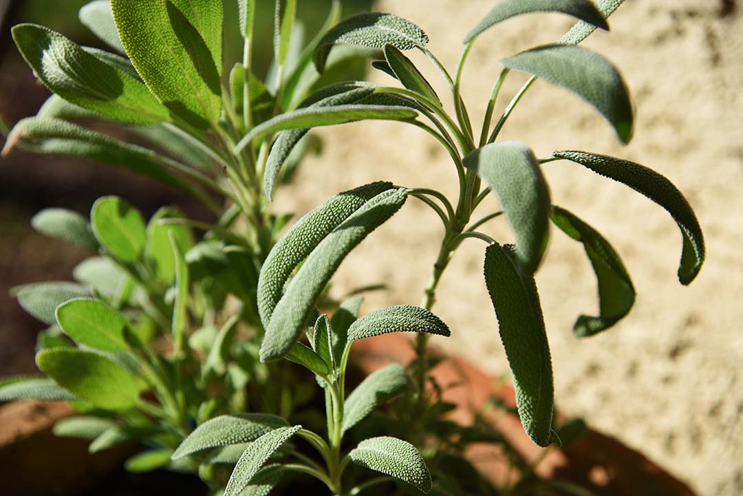 Potted Herbs on My Backporch - Garden Sage