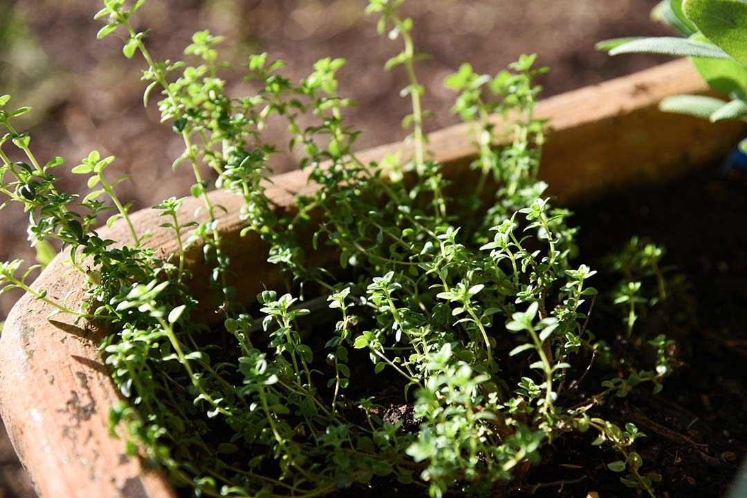 Potted Herbs on My Backporch - Lemon Thyme