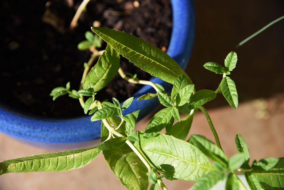 Potted Herbs on My Backporch - Lemon Verbena