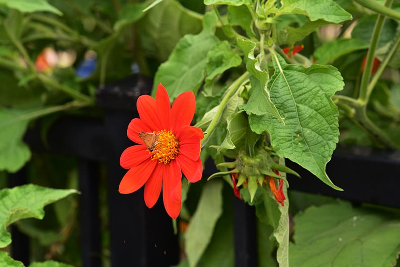2017-08-23 Photos of My Flowers - Butterfly on Mexican sunflower