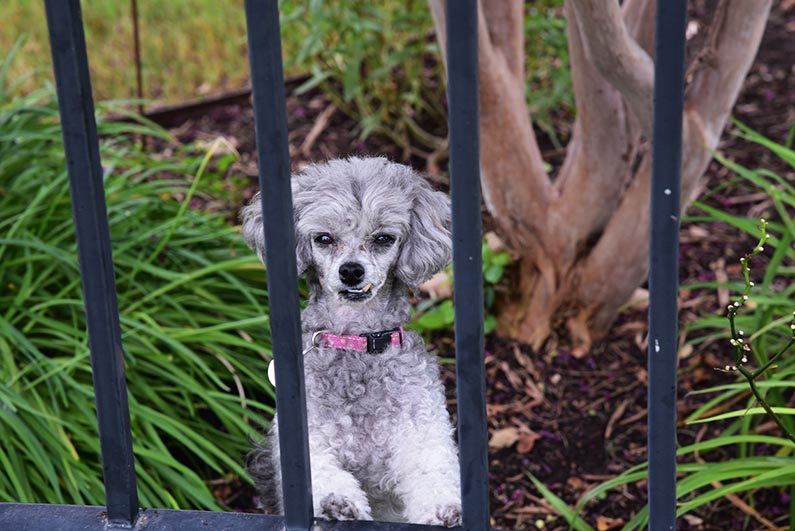 2017-08-23 Photos of My Flowers - Izzie behind the fence