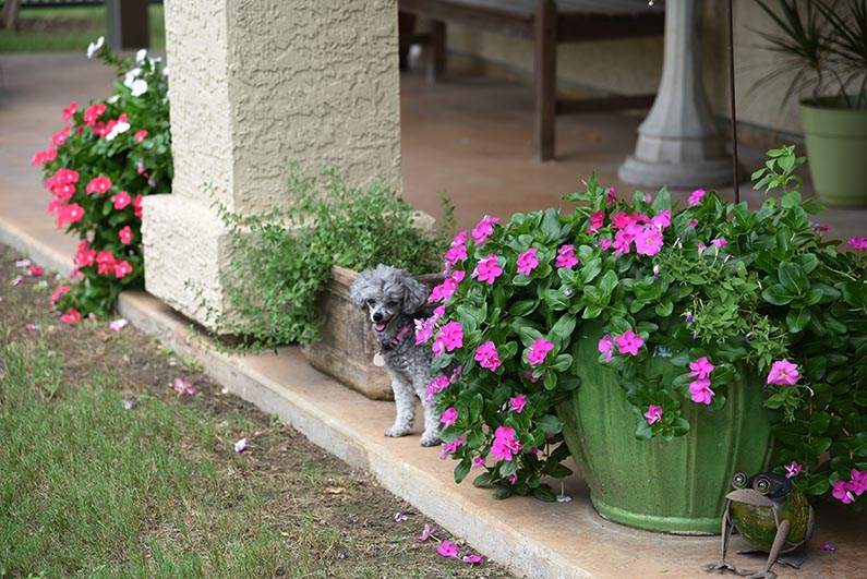 2017-08-23 Photos of My Flowers - Izzie next to flowers on the backporch