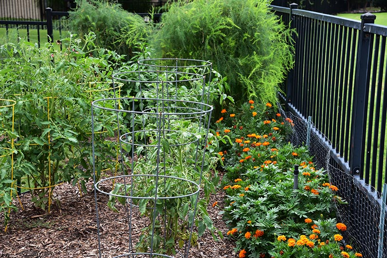2017-08-23 Photos of My Flowers - Marigolds, tomatoes and asparagus fronds