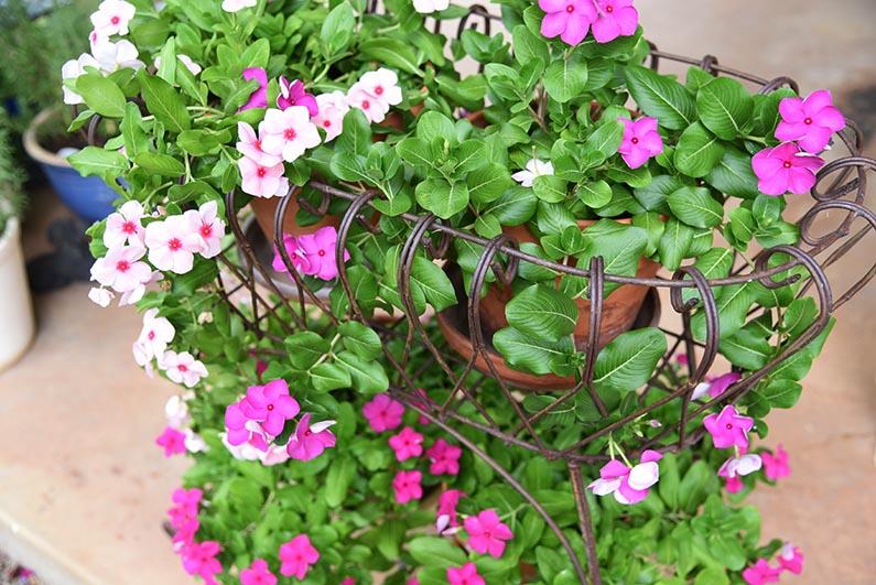 2017-08-23 Photos of My Flowers - Periwinkles