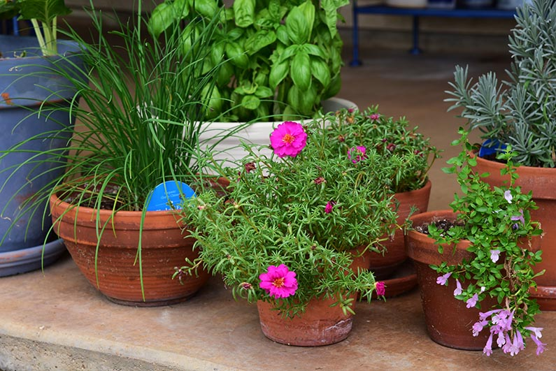 2017-08-23 Photos of My Flowers - Potted plants on the backporch