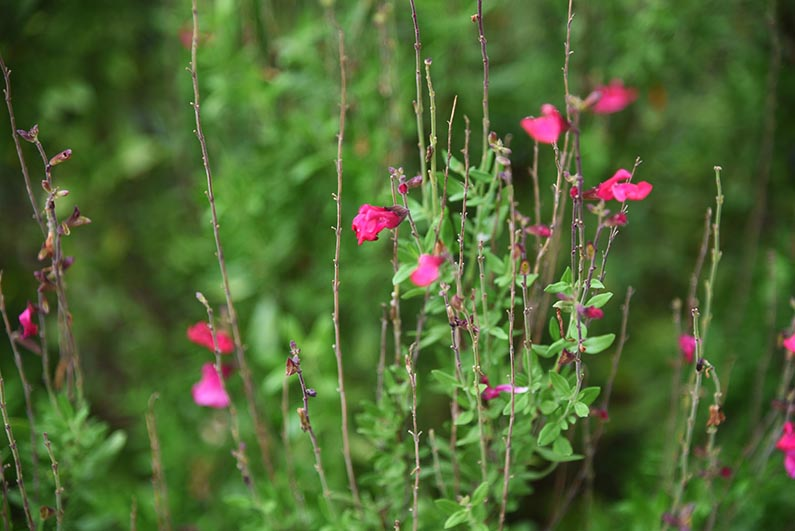 2017-08-23 Photos of My Flowers - Salvia
