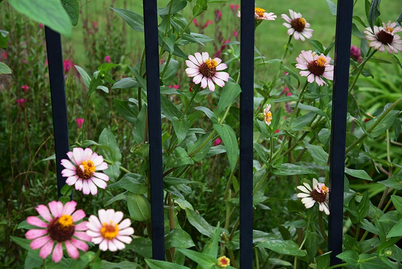 2017-08-23 Photos of My Flowers - Zinnias behind the fence