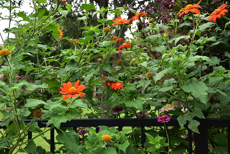 2018-08-23 Photos of My Flowers - Mexican sunflowers and zinnias