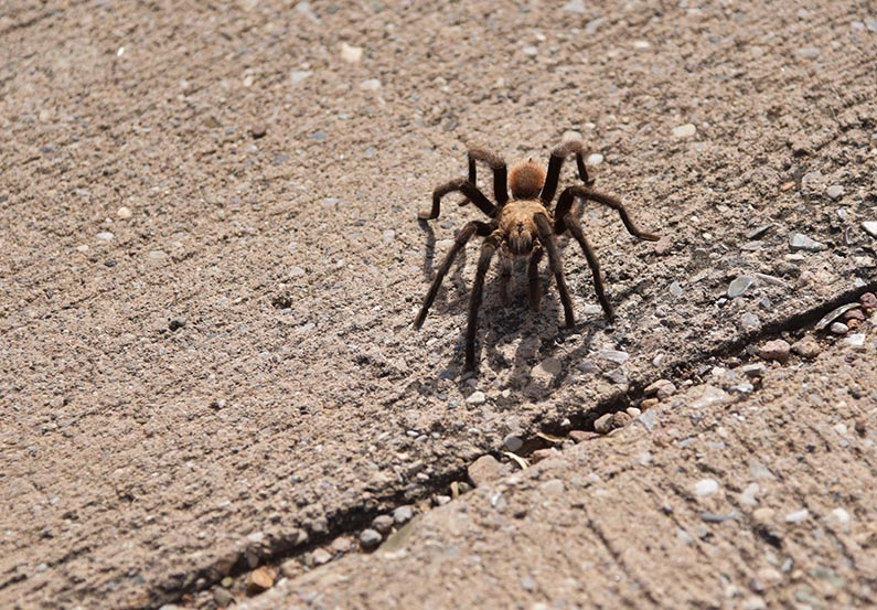 14 - 2017-11-07 Trip to Big Bend - Tarantula - 1