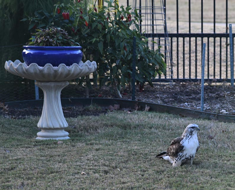 2017-11-22 Happy Thanksgiving - Hawk in the backyard