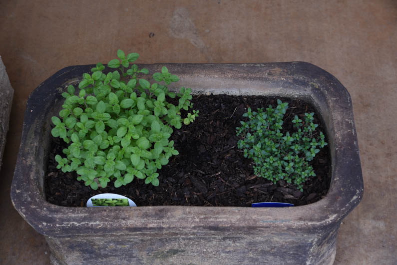 Happy Spring - oregano and thyme