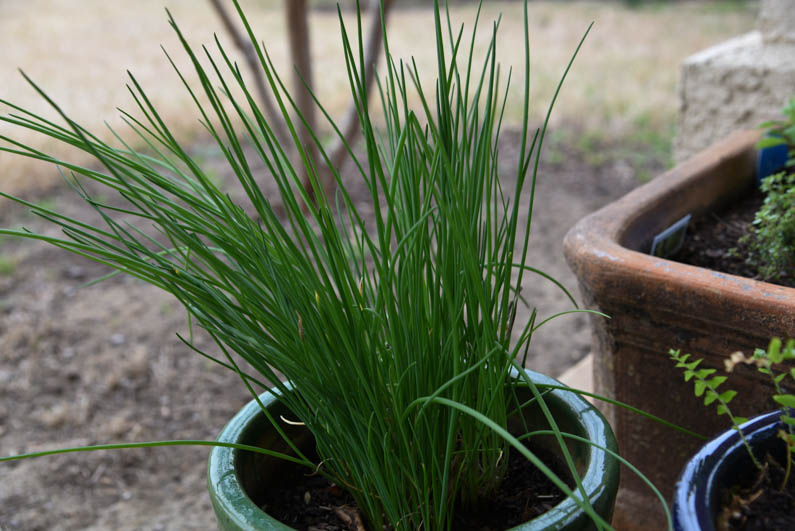 Happy Spring - chives