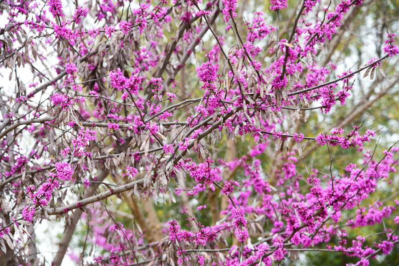 Happy Spring - redbuds side of house