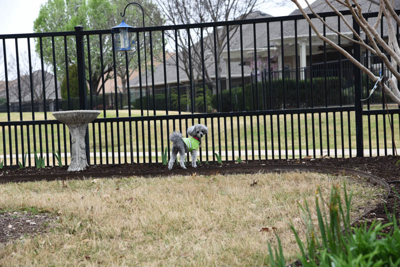Happy Spring - Izzie at the fence