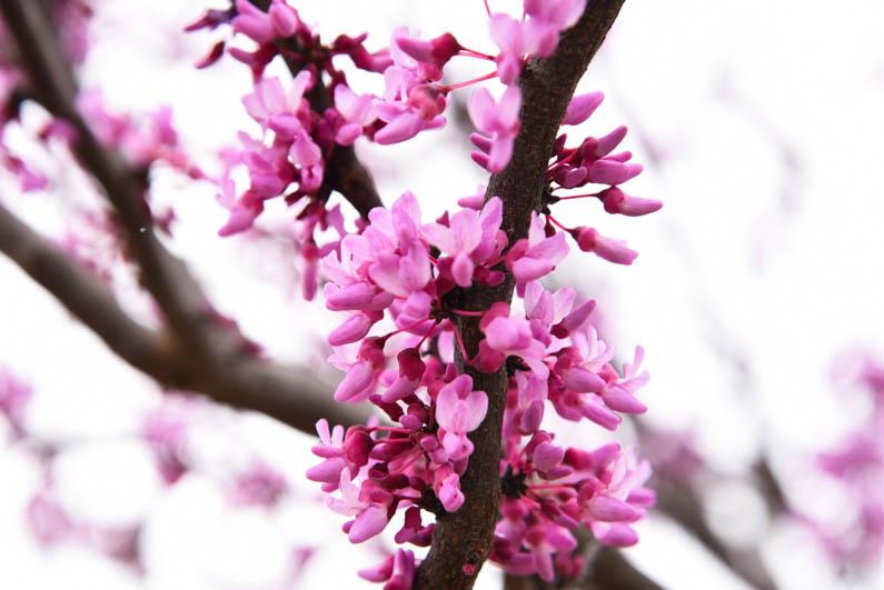 Happy Spring - redbud flowers