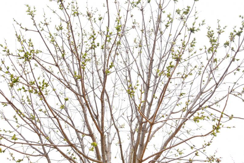 Happy Spring - Chinese Pistachio