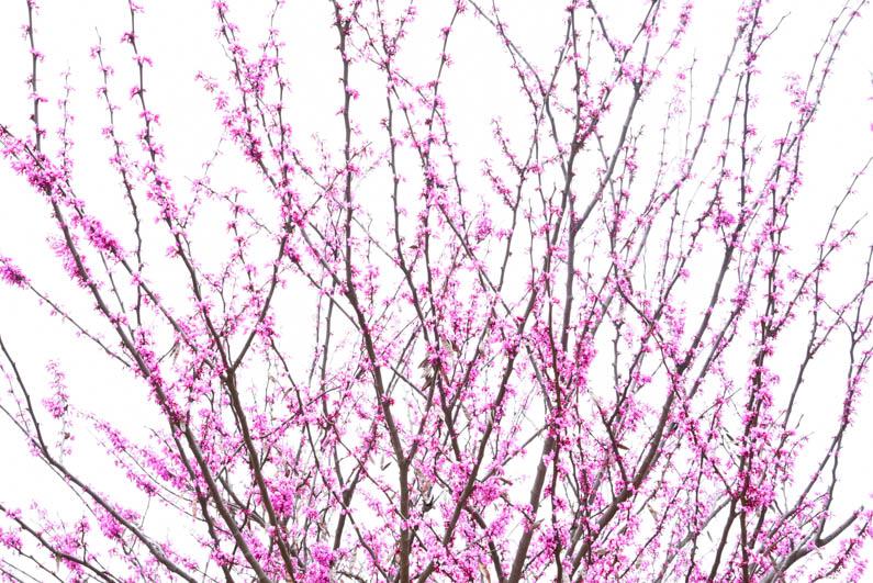 Happy Spring - Redbud